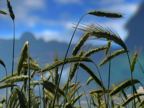 wheat wheat field wheat spike