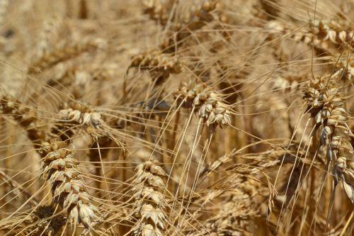 wheat agriculture triticum aestivum