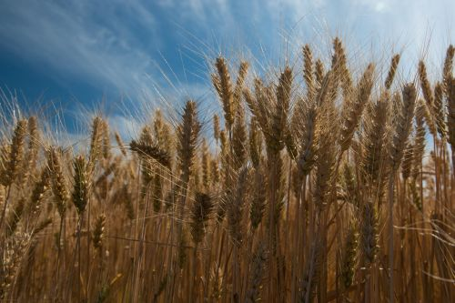 wheat ears summer