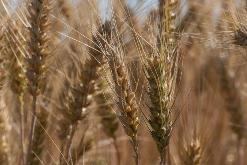 wheat the grain ears