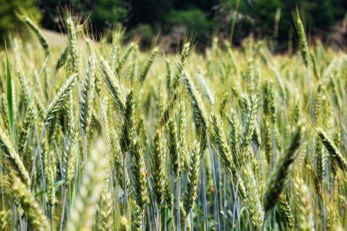 kvieciai,laukas,rugių laukas,grūdai,grūdai,kukurūzų laukas,spiglys,gamta,Žemdirbystė,miežių laukas,miežiai,kolos,žolė,pieva,žalias,augalas