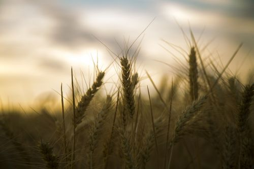 wheat backlighting silhouette