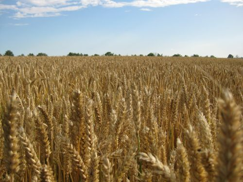 wheat harvest cereals