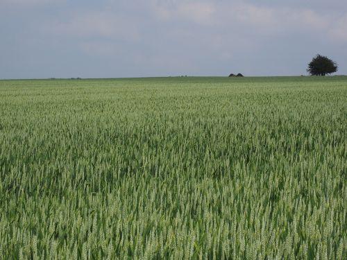 wheat field wheat wheat spike