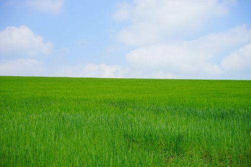 wheat field cornfield wheat