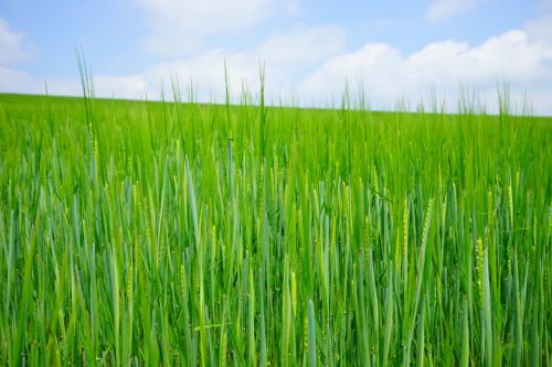 wheat field wheat seed