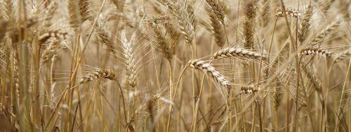 wheat field wheat wheat cultivation