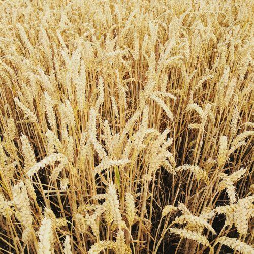 wheat field field of wheat wheat