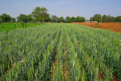 wheat field unripe crop