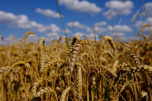 wheat field autumn sky