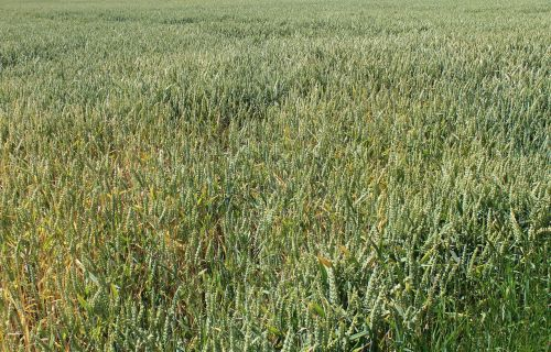 wheat field grass wheat