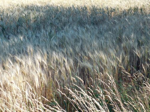 wheat field wheat field
