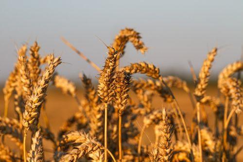 wheat field rye grain