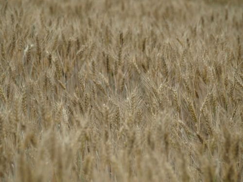 wheat field wheat cereals