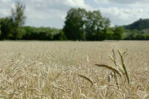wheat field landscape summer