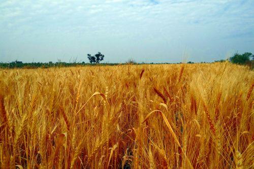 kviečių laukai,pasėlių,derlius,kviečių smaigalys,prinokę,grūdai,grūdai,Žemdirbystė,Indija