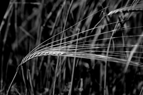 Wheat In Black And White