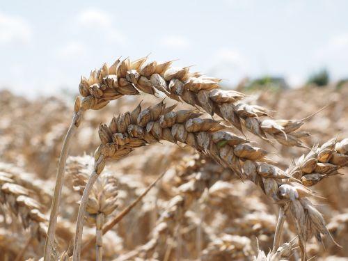 wheat spike wheat bread wheat