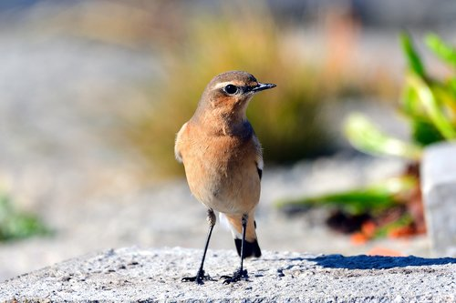 wheatear  songbird  north sea