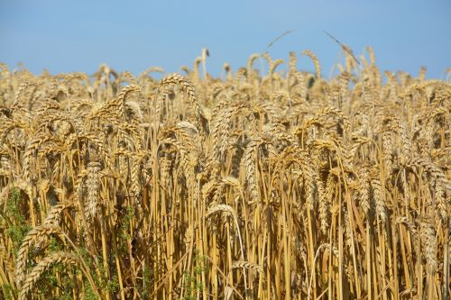 wheats wheat fields cereals