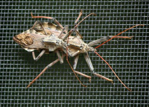 wheel bugs assassin bug predator