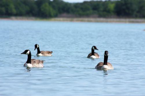 gamta, laukinė gamta, gyvūnai, paukščiai, žąsys, Kanada & nbsp, žąsys, žąsis, Kanada & nbsp, žąsis, žiūri, maudytis, skirtingos & nbsp, instrukcijos, vanduo, ežeras, mėlynas & nbsp, vanduo, kokiu keliu jie vyko