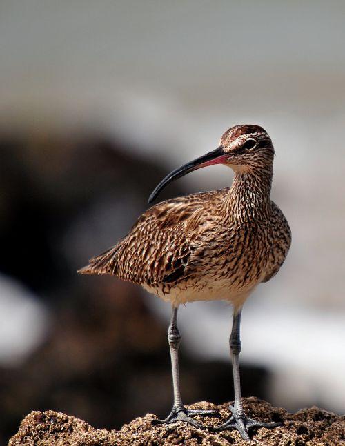 whimbrel birds senegal