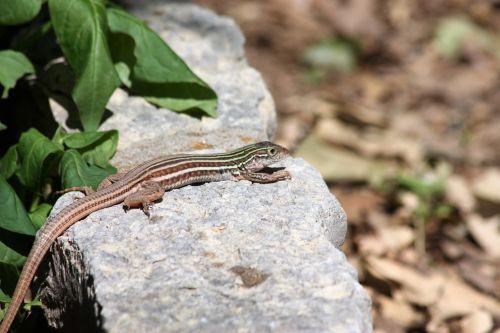 Whip-tail Lizard Sunning
