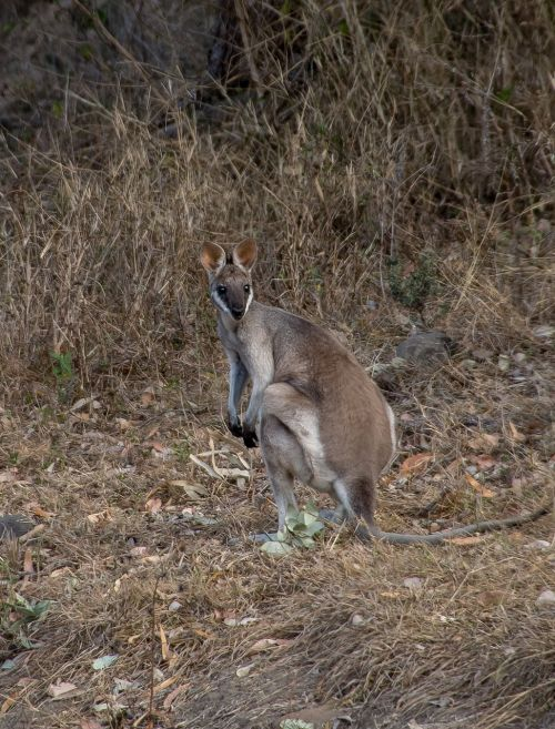 whiptail wallaby pretty-face wallaby macropus parryi