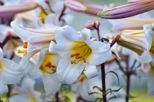 white pollen stamen