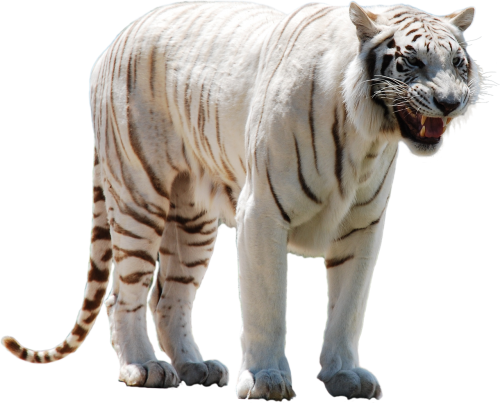 white tiger predator
