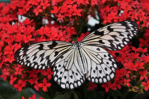 butterfly white black