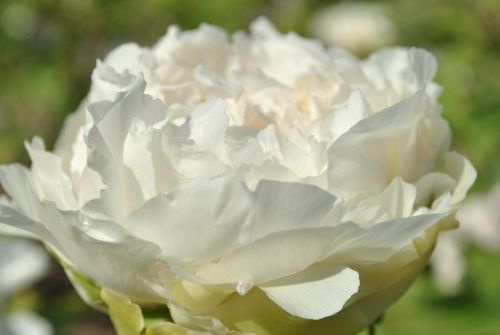 white peony spring