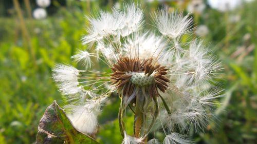 white faded dandelion fluff