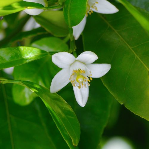 white flowers chinese citron