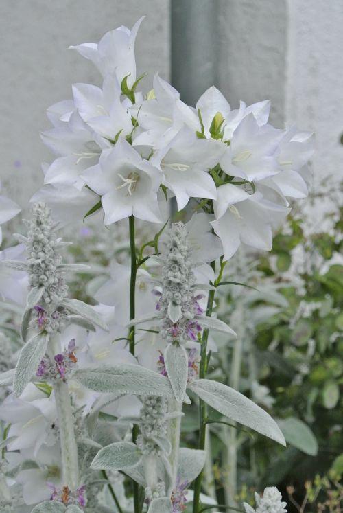 white flowers white splendour