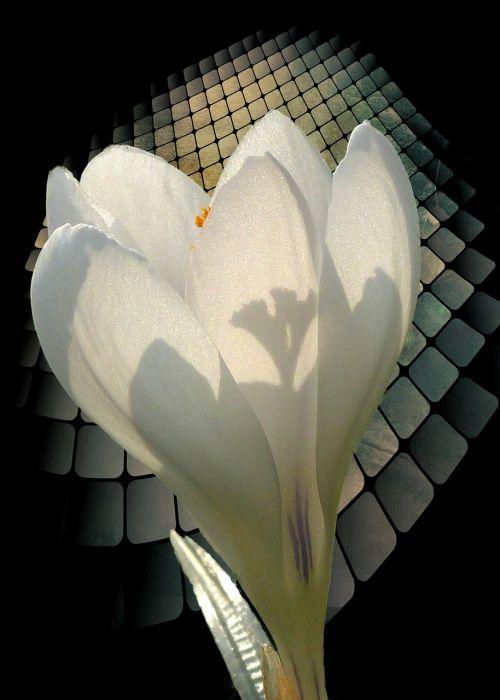 white crocus spring
