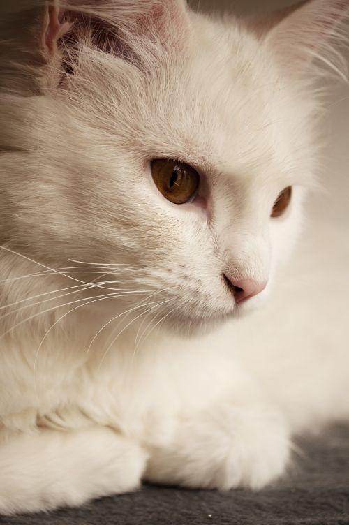 white persian fur