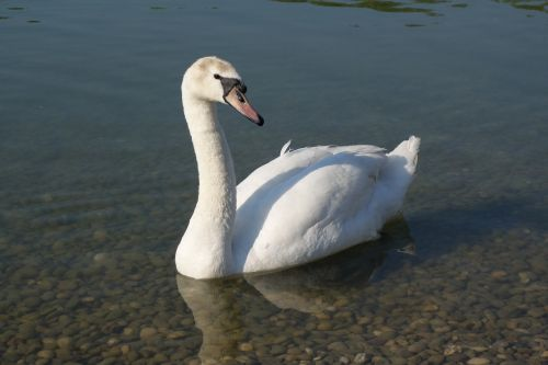 white swan elegance