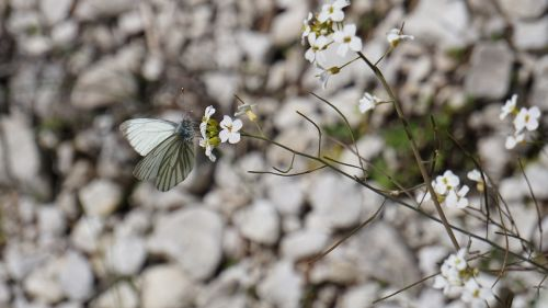white pebble butterfly