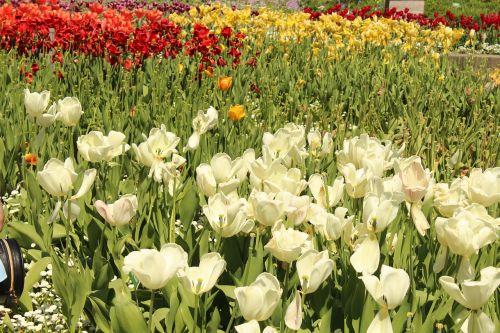 balta,raudona,pinigai,žalias,žiedas,žydėti,gėlė,tulpių laukas,botanikos,botanikos sodas,augsburg,botanikos sodas augsburgas