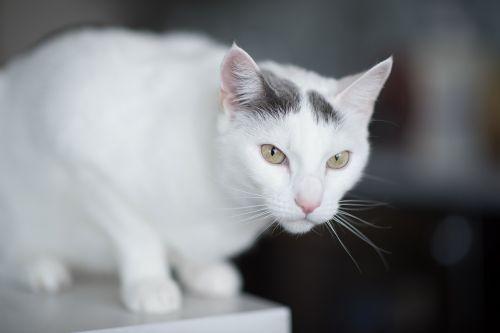 white pussycat cat