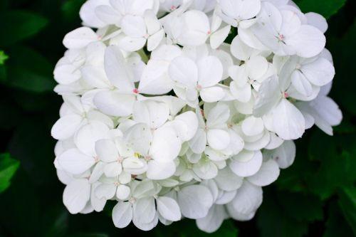 white blossom bloom