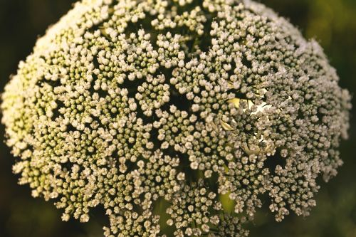 white flowers flower