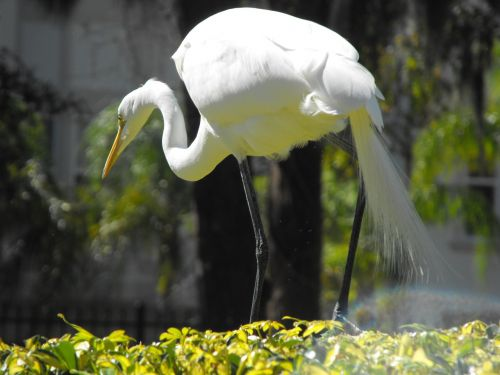 white herons birds