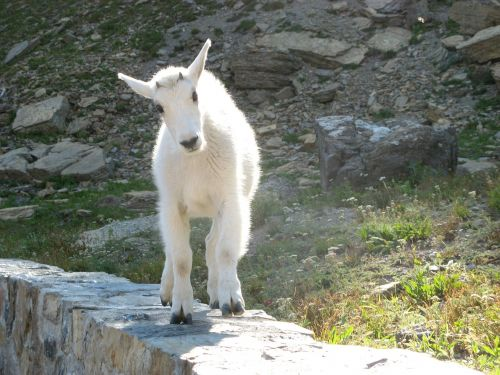 balta,ožka,kūdikis,gyvūnai,ūkis,žinduolis,vidaus,lauke,ūkio gyvūnai,kaimas,gyvuliai,ranča,Naminiai gyvūnai