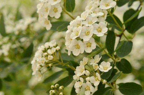 white  flower  hawthorn