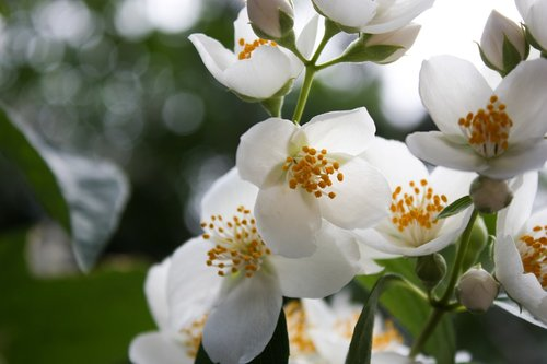 white  jasmine  nature