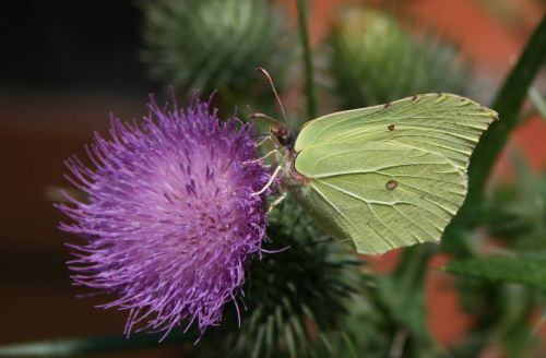 white butterfly thistle