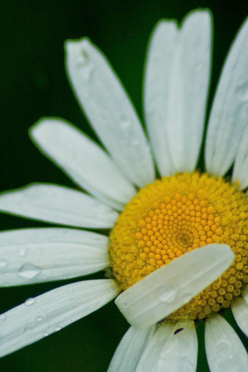 white flower daisy